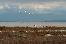 A Flock Of Snow Geese Ready To...