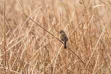 One Brown Sparrow Resting On T...