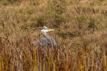One Great Blue Heron Hiding Behind Tall Brown Grasses In The Marshland