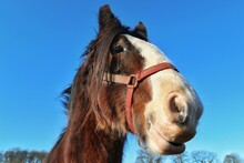 Close-up Of Horse On Field Against Clear Blue Sky