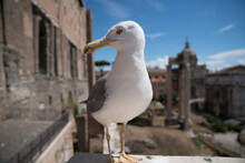 Seagull On The Pier Rome