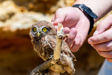 Man's Hand Touching Little Owl...