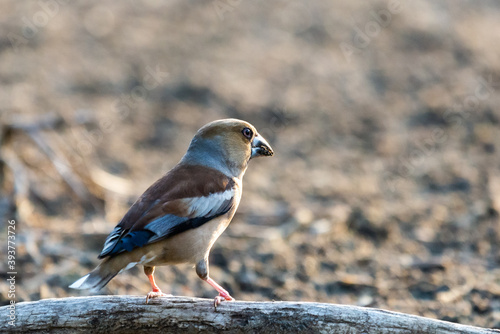 Cuadros en Lienzo A common hawfinch or Coccothraustes coccothraustes