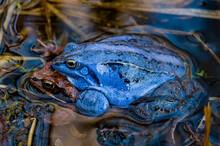 Moor Frog (Rana Arvalis), Mating