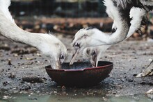 Close-up Of Ostriches Eating Food