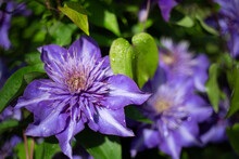 Isolated View Of Blooming Clematis Flowers With Vibrant Purple Petals, Deep Yellow White Pistils/Stamen/Centers, And Green Leaves - Daytime
