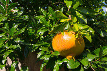 The Fruit Of The Pomegranate R...