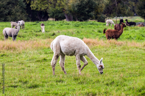 Fototapeta premium Herd of lamas after haircut is grazed