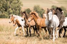 Island Pferde, Isländer, Isla...
