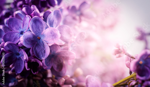 Fotografiet Beautiful purple lilac flowers