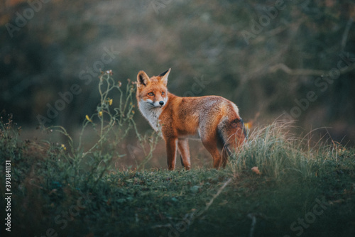 Red Fox in the grass Canvas-taulu