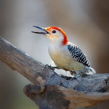 Red Bellied Woodpecker 38114