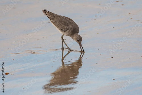 Leinwand Poster Least sandpiper sticks beak into the wet sand shoreline of the beach for food under the surface