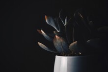 Close-up Of Succulent Plant Over Black Background