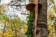 Big Polypore Mushroom On The S...