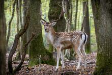 Retrato De Gamos En Un Bosque