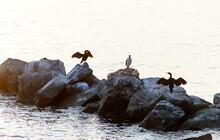 Cormorants Drying Their Feathe...
