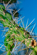Bright Closeup On Dangerous Sharp Needles Of Arizona Sonoran Desert 'Jumping' Cactus Cholla, Cylindropuntia Imbricata