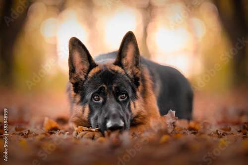 Fotomural german shepherd dog in a wood at the golden hour, bokeh, sunset, leaves, autumn,