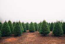 Christmas Tree Farm Perfect Rows Of Trees Many