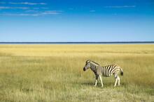 Zebra On Grassy Field Against Blue Sky