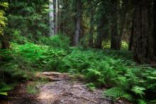 Lush Greenery In A Red Cedar Forest