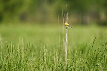 American Goldfinch On Tall Grass