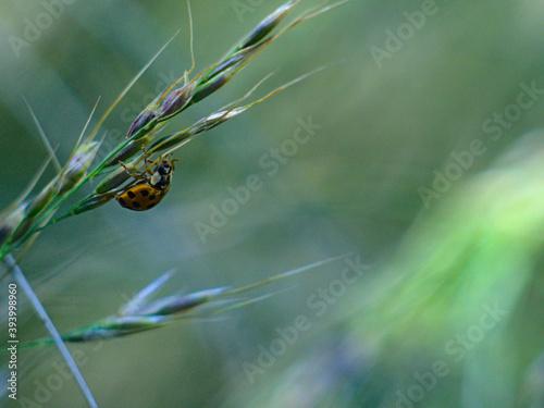 Foto mariquita, ladybug o chinita sobre pasto