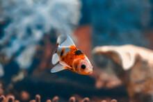 Goldfish Chef Shubunkin