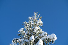 Snow Covered Christmas Tree Crown With Cones And Clear Blue Sky.