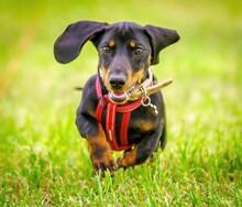 Close-up Portrait Of Dachshund Running On Grass