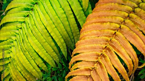 Fotografia Limbes de fougères vertes et brunes.