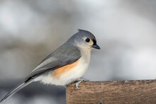 Close Up Of A Tufted Titmouse