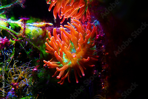 Multicolored Bubble-tip anemone - Entacmaea quadricolor Fototapeta