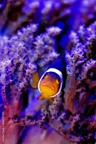Photo Amphiprion Ocellaris Clownfish - The most popular saltwater fish for coral reef