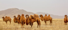 The Bactrian Camel, Also Known...