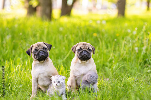Two pug puppies and two kittens are sitting next to the grass in the summer in the park Tapéta, Fotótapéta