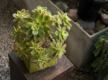Urban Garden. Succulent Plants. Closeup View Of An Aeonium Haworthii Kiwi, Beautiful Rosettes Of Green Leaves With Pink Edges Growing In A Pot.