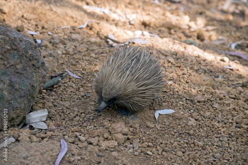 Fotografiet the short nosed echidna has spikes for defence against preditors