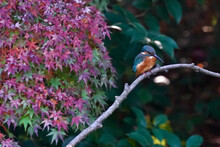 Common Kingfisher On The Branch In Autumn