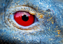 Close Up Of A Red Eye On A Blu...