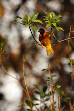 The Village Weaver (Ploceus Cucullatus), Also Known As The Spotted-backed Weaver Or Black-headed Weaver Building Up A Nest At Sunset. A Yellow Weaver With A Red Eye Knits A Nest.