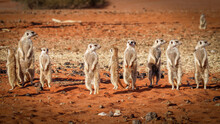A Family Of Meerkats (Suricata...