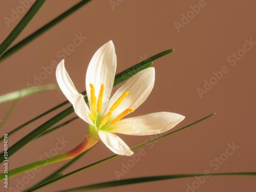 Fototapeta White flower and green leaves. Indoor plant Zephyranthes. obraz na płótnie