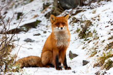 Wild Fox Of Polar Circle On A Forest Path, North Europe, Kola Peninsula