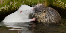 Close-up Of Rats In Pond