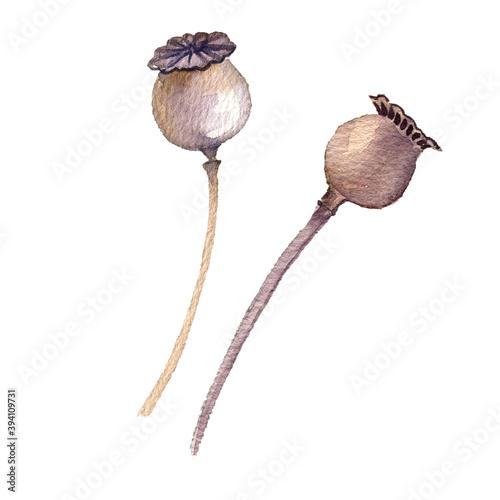 Fototapeta watercolor poppy seed heads obraz