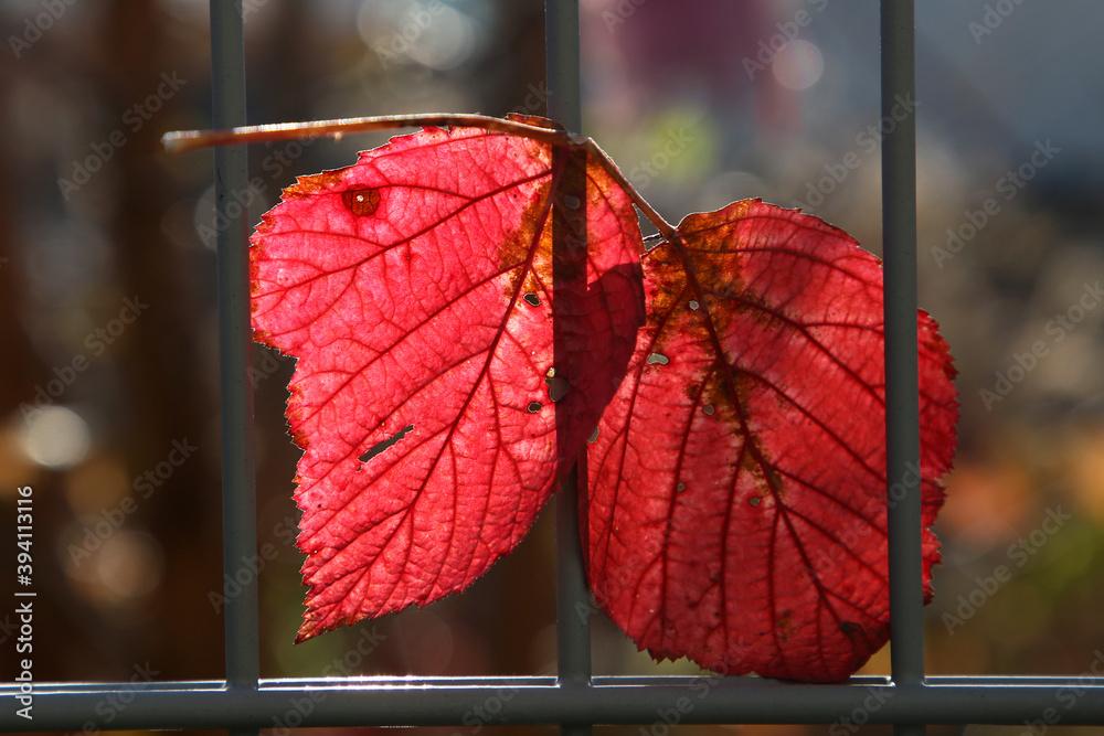 Fototapeta Czerwony liść jesienią.