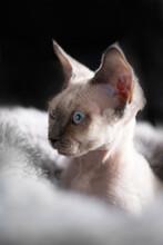 Portrait Of Young Devon Rex Kitten
