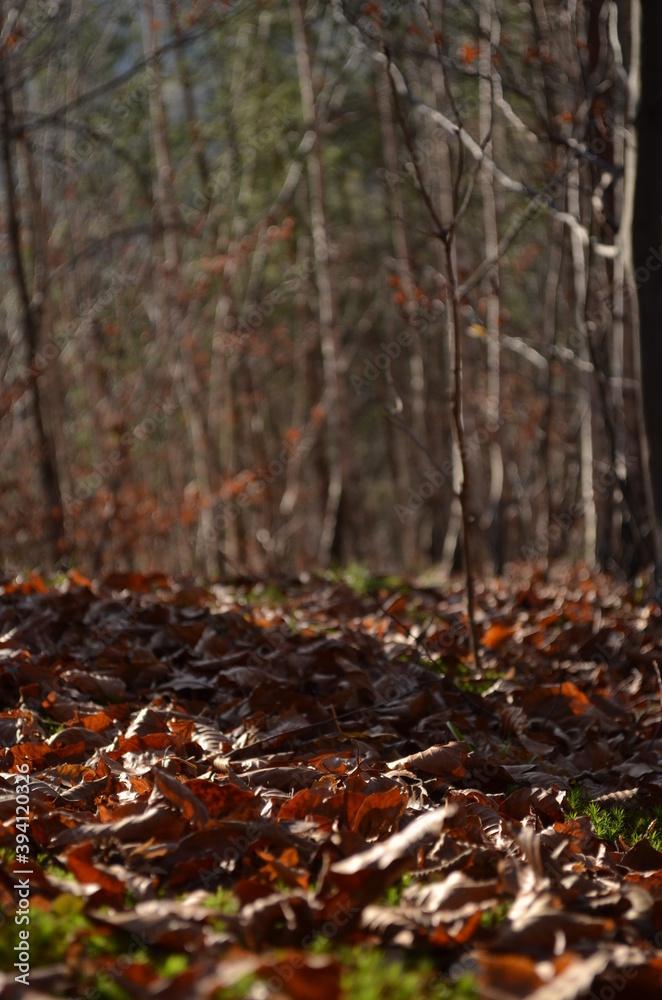 Fototapeta autumn leaves in the forest